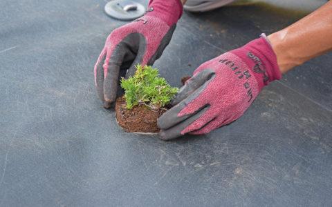 穴に苗を植えます。