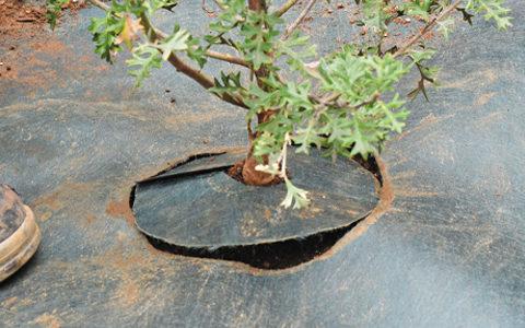 カットした防草シートを、植物の根本部分に戻します。